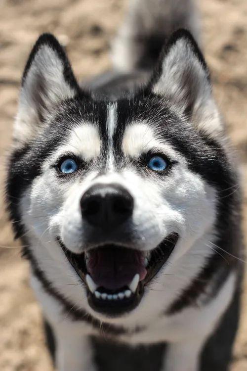 A blue eyed Siberian husky