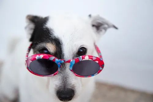 A black and white dog wearing pink sunglasses