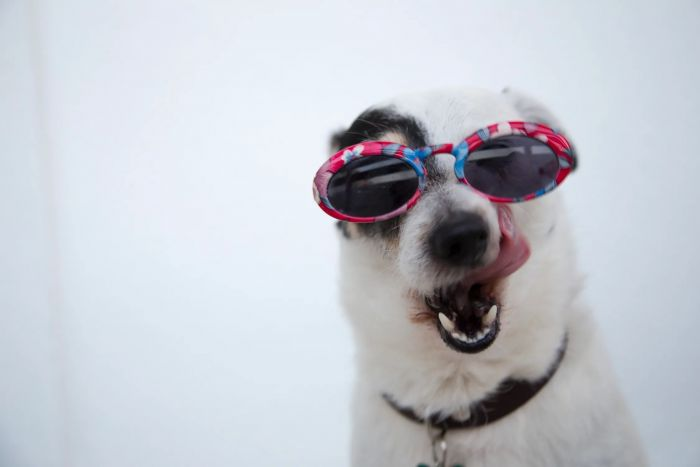 A cute dog wearing sunglasses
