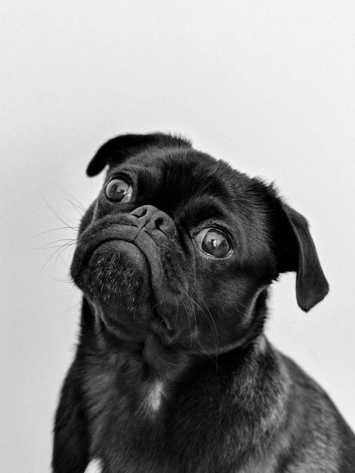 An adult black pug