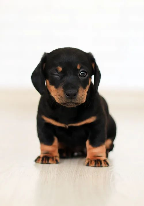 An adorable little black puppy winking