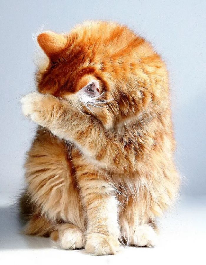 An orange cat covering its face
