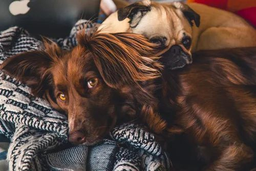 Two dogs cuddling together in bed