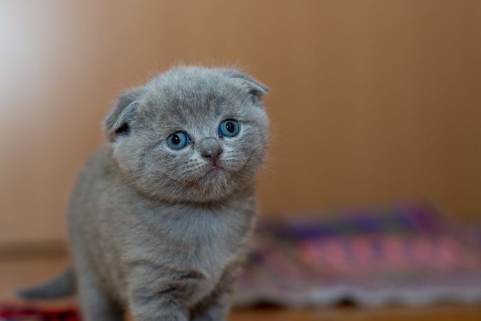 An adorable little grey kitten