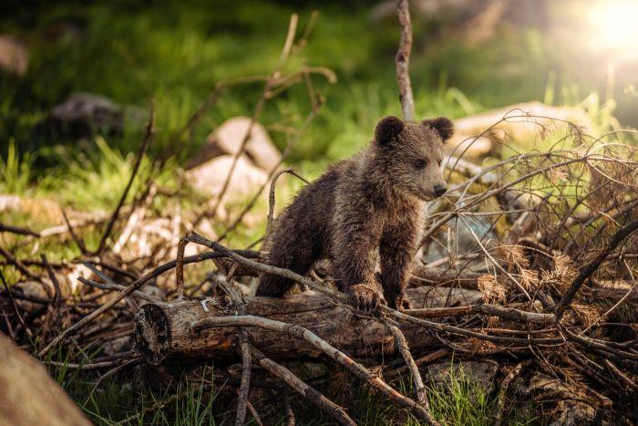 A baby brown bear