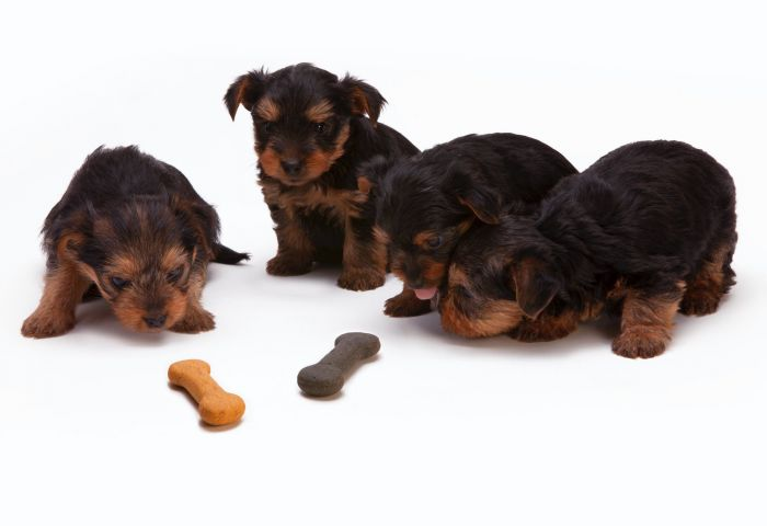Adorable little brown puppies