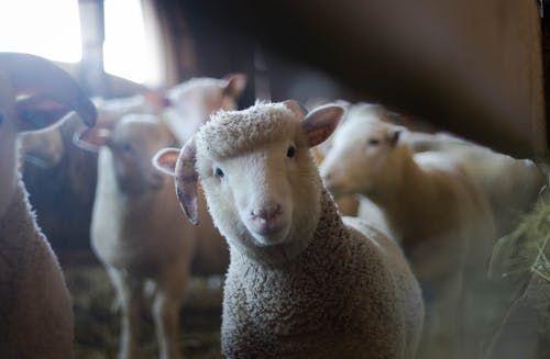 An adorable baby sheep