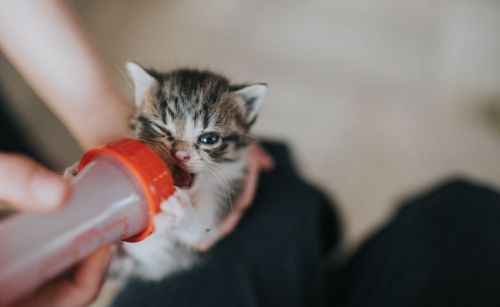 cat being fed from a bottle
