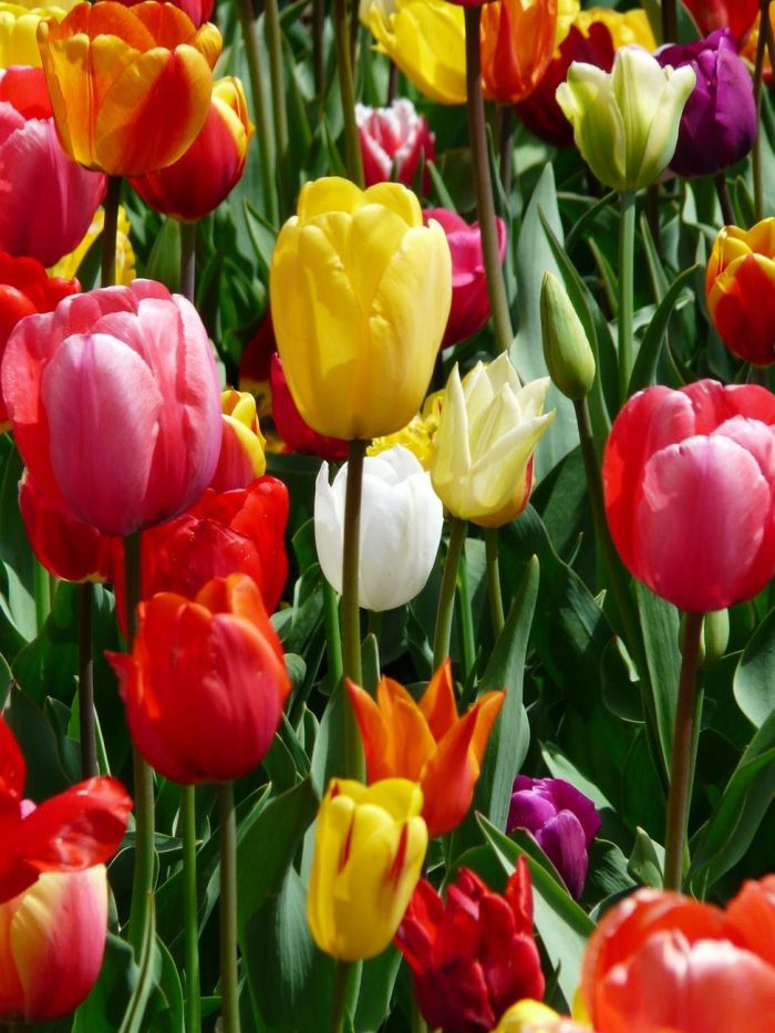 A garden filled with colorful tulips
