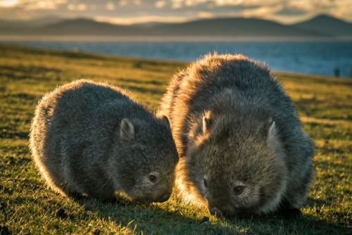 baby wombat and mother