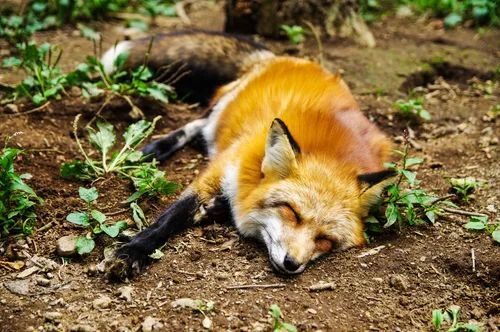 An adorable fox taking a nap in the woods