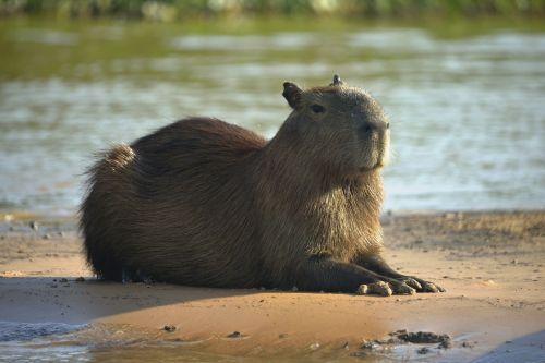 Capybara resting near a pond