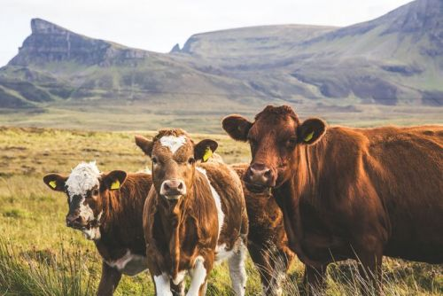 Highland Cattles on Isle of Skye