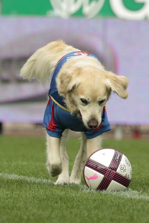 Dog wearing a blue soccer shirt kicking a ball on the field