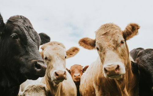 Herd of cows standing outside, looking at the camera from a low viewpoint