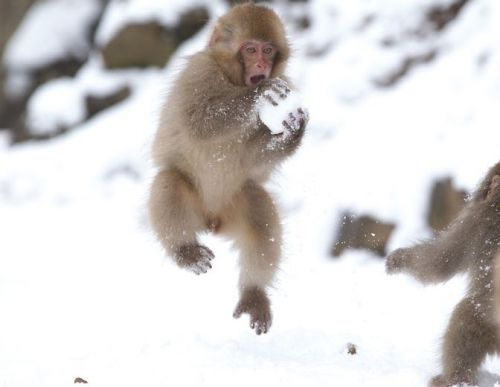 Japanese macaque playing with snow