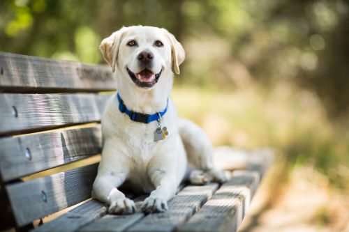 Yellow Labrador Retriever dog smiles as it lays on a wooden bench outdoors on a sunny day