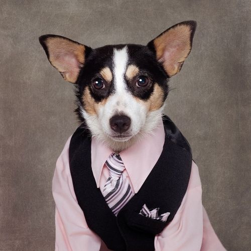 Dog wearing a pink formal shirt and tie