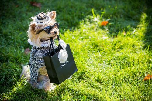 Dog wears Chanel coat on the grass while holding a black Chanel bag with its mouth