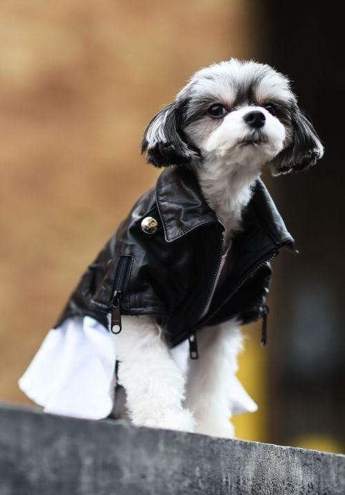 Dog wearing a leather jacket