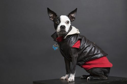 Dog wearing a red outfit and leather jacket