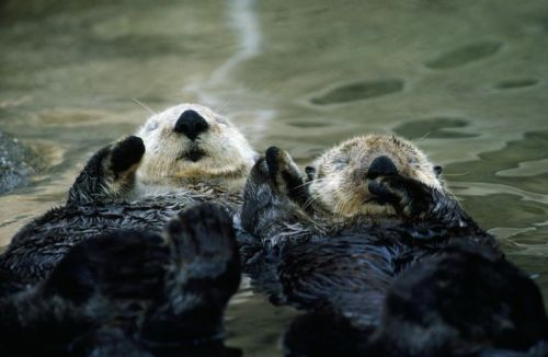 Sea otters sleeping holding hands in water