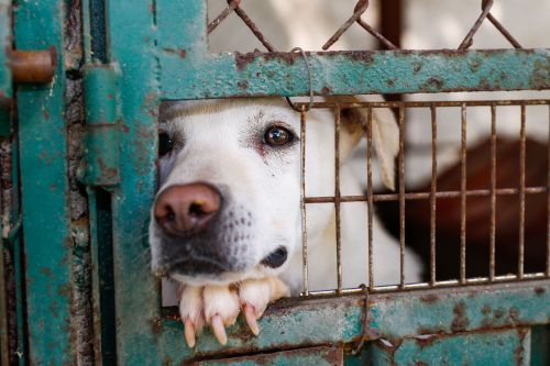 A white mixed-breed dog looking sad behind a fence in a dog shelter in Mexico City
