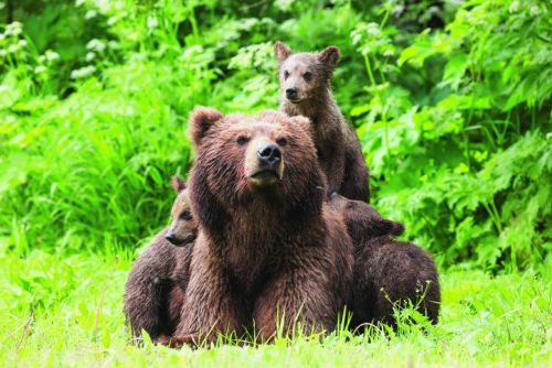 Mother bear and three cubs on grass