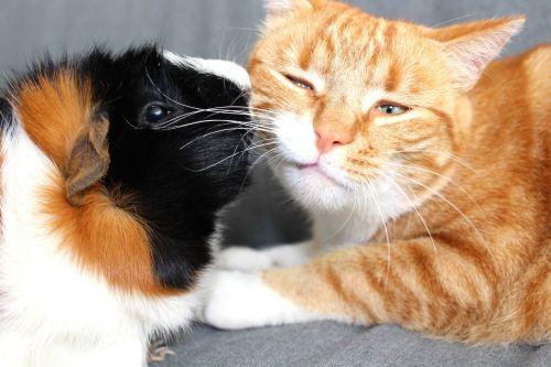 Guinea pig kissing orange cat