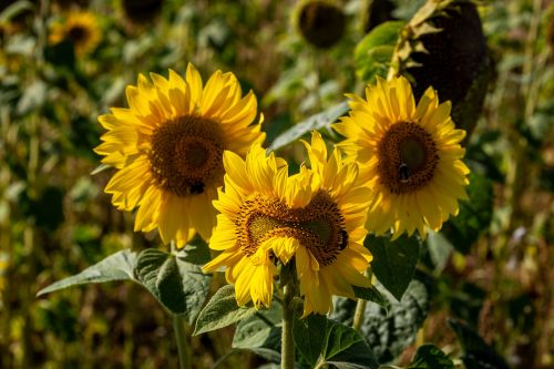 Three sunflowers with a green background