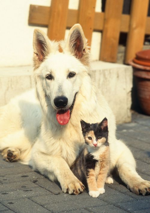 Big white dog and small cat posing for picture