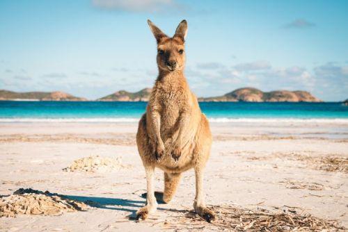 Kangaroo standing on the sand at the beach