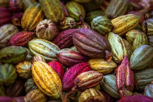 Colorful cocoa pods