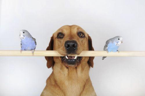 Labrador retriever holding a pole where two blue birds are standing on