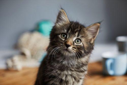 Tabby kitten sat on the breakfast table looking up