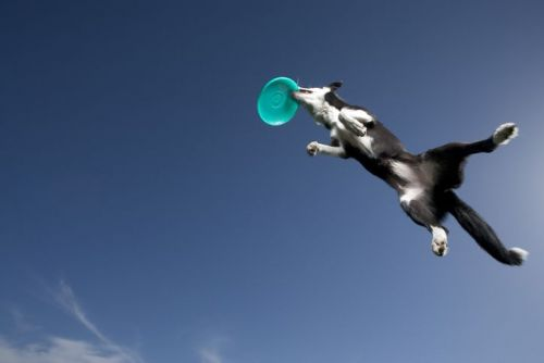 Border collie catching plastic disc in midair