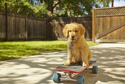 Labrador puppy on a skateboard