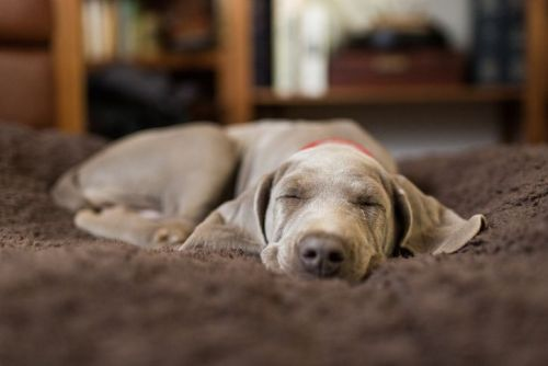 A tired Weimaraner puppy sleeps on a soft bed indoors