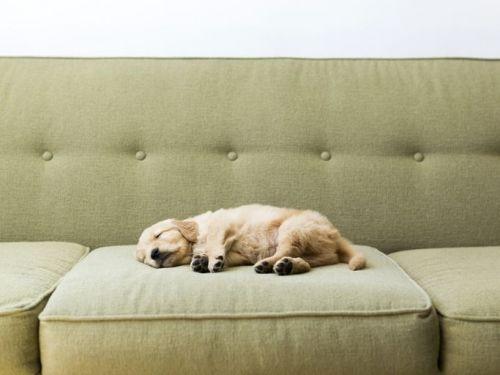 Golden retriever puppy sleeping on a green couch