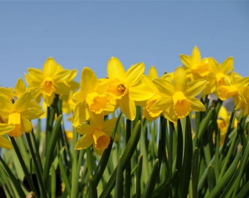 Close-up of bright yellow daffodils