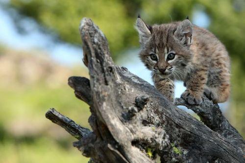 Bobcat Kitten walking along a log and stalking an insect.