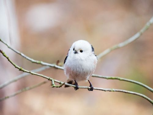 Long-tailed tit perched on a twig