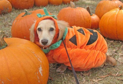 Labrador dressed as a pumpkin