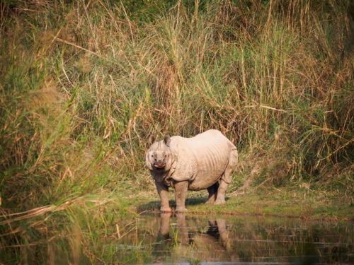 Wild Greater one-horned rhinoceros (Rhinoceros unicornis) standing in front of tall elephant grass