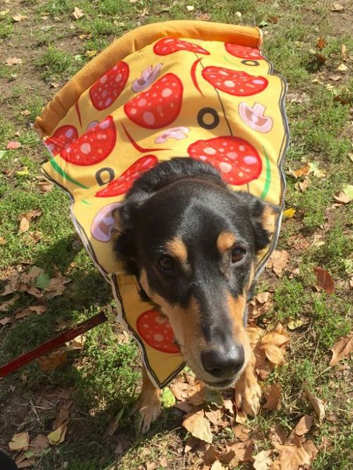 dog dressed up as a piece of pizza for Halloween