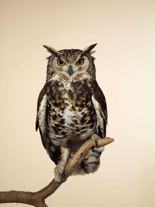 Eagle owl against beige background