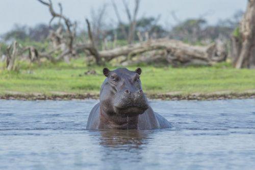 Hippopotamus in water
