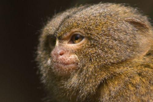 Close-up of a pygmy marmoset