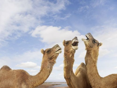 Three camels with their mouths open