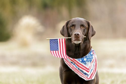 Chocolate Labrador dog holding an American flag with a red, white and blue bandanna on